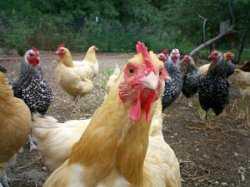 На «Харабалинской» птицефабрике уничтожили всех кур