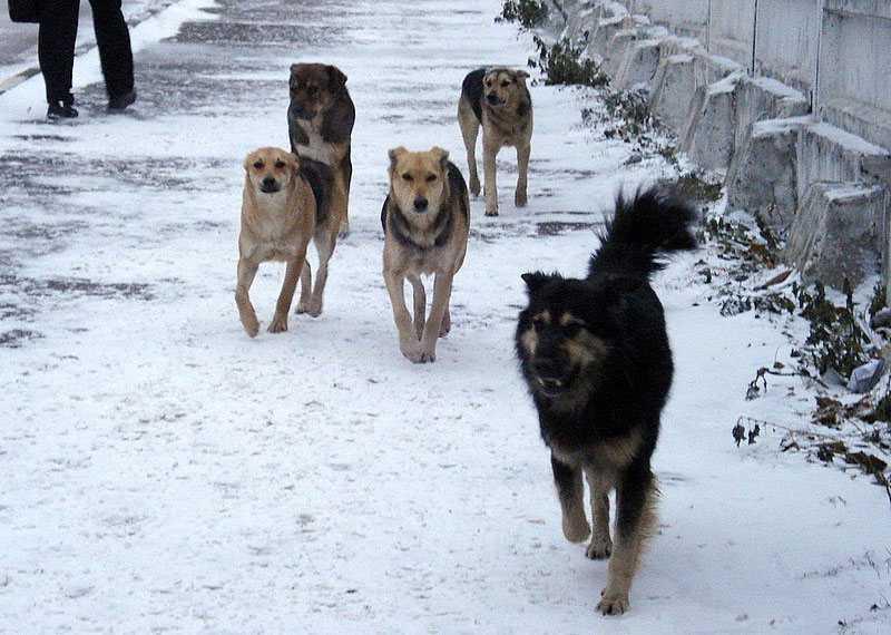 Отлов и утилизация собак обойдутся Ахтубинскому району максимум в 427 тысяч 500 рублей