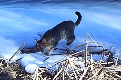 Опубликовано уникальное видео дикого кота в Астраханской области