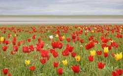 В Астраханской области пройдет фестиваль тюльпанов