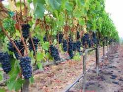 В Астраханской области планируют расширять площади виноградников