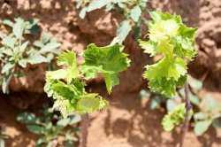 Виноградарство возрождают в Астраханской области
