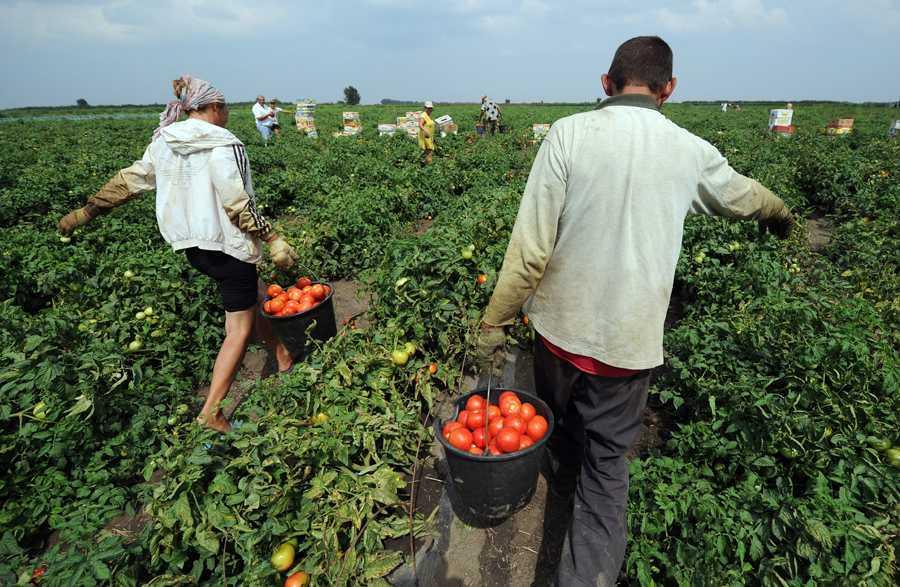 В Астраханской области сдвинулся сезон сбора ранних овощей