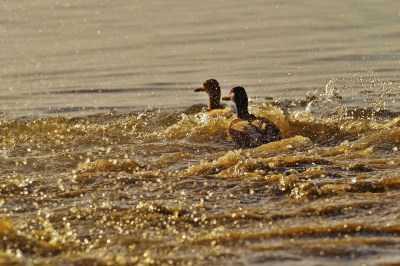 Особенности охоты: утки летят в Астрахань из Сибири