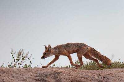 Кто такой астраханский корсак и чем он отличается от лисы
