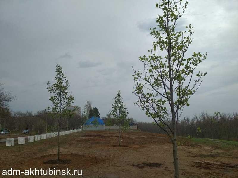 Высадка тюльпановых деревьев