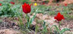 В выходные у горы Богдо будут цвести тюльпаны, петь скалы и бегать люди