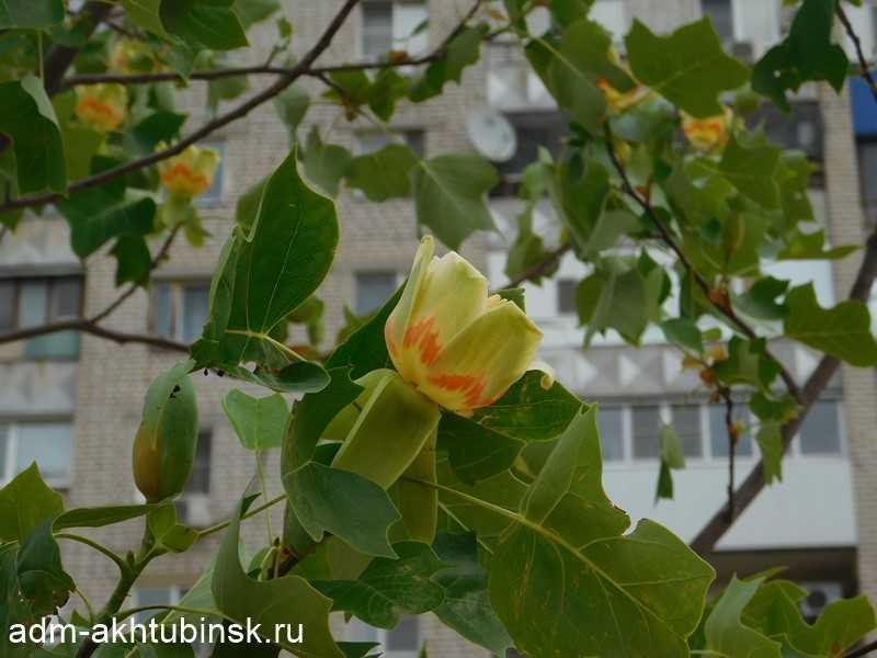 В Ахтубинске расцвели тюльпановые деревья