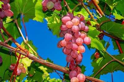 Помогите дозреть виноградной лозе
