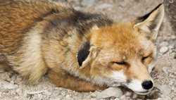 В Астраханской области дикие лисы подходят к людям