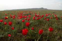 В Астраханской области зацвели тюльпаны Шренка